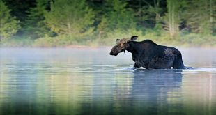 Moose seen floating down Missouri River on ice